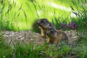 deux-marmottes