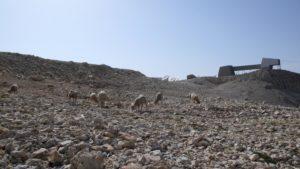 moutons-Bure